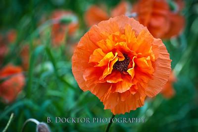 18x27_Poppies_032