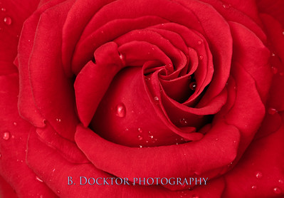 Ingrid Bergman red rose-17