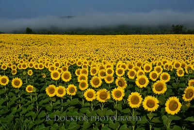 1408_Sunflowers Rt  7_246