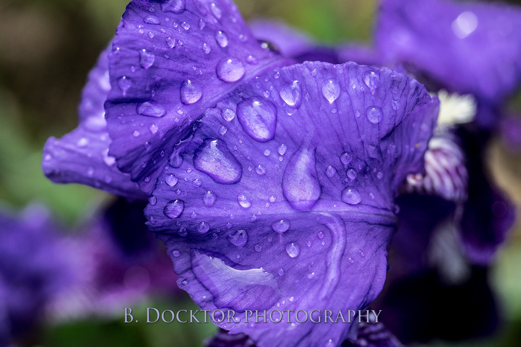 1405_Iris water droplets_002