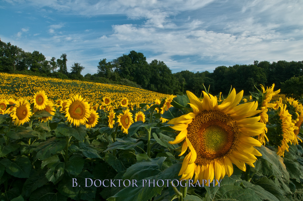 Sunflower fields Columbia County NY-3