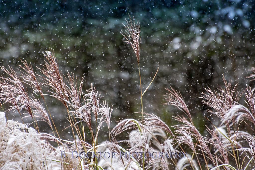 1610_Snow on tall grasses_019