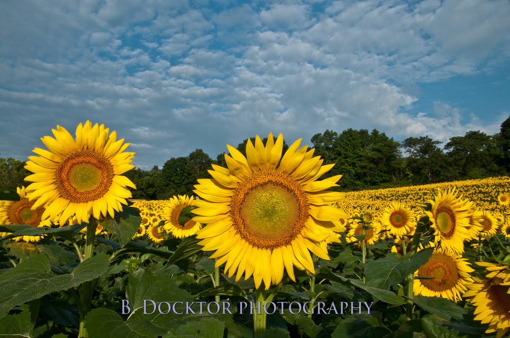 Sunflower fields Columbia County NY-1