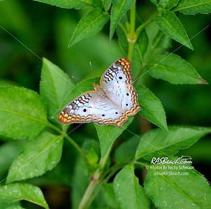 Butterfly_WhitePeacock_RAS_3594
