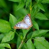 Butterfly_WhitePeacock_RAS_3594