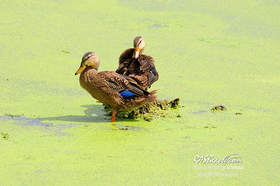 Mottled Ducks_001