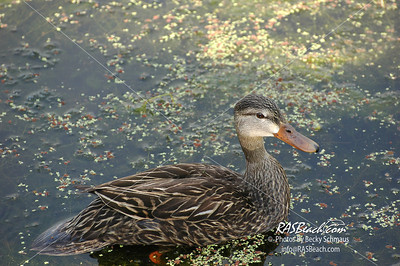 Female Mallard Duck_066