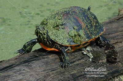 Turtle, Florida Everglades_207