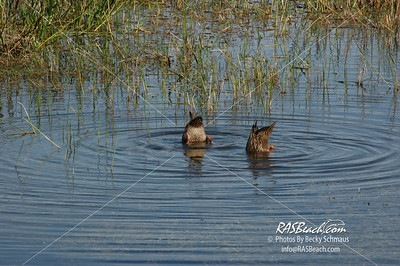 Mottled Ducks in the Florida Everglades_117