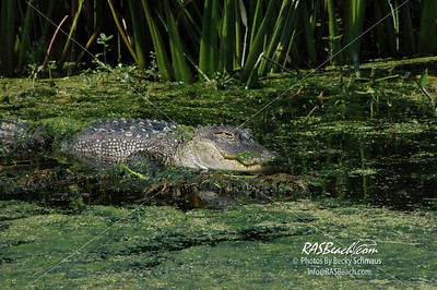 Florida Everglades - Alligator_045