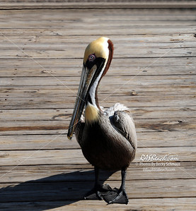 Brown Pelican_010