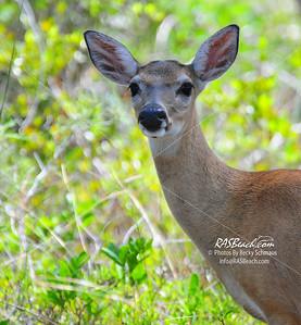 Key Deer_5199