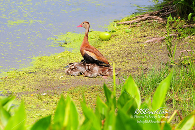 Black Bellied Whistling Ducks_003