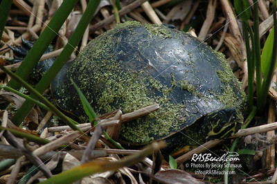 Turtle, Florida Everglades_175