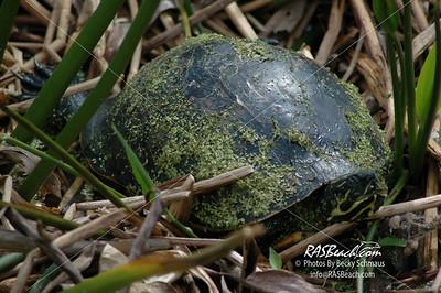 Turtle, Florida Everglades_175