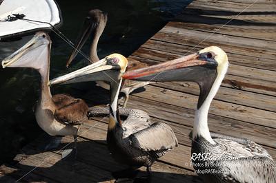 Pelicans_1700