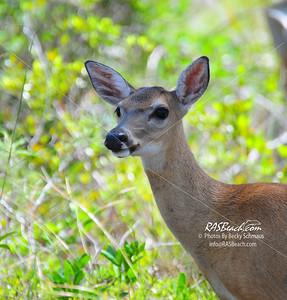 Key Deer_5198