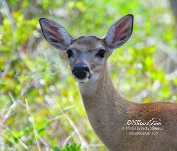 Key Deer_001