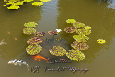 Water Lily in Pond at Biltmore Estate