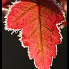 Frosted Maple Leaf with a border