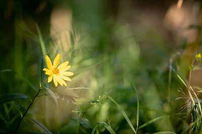 Sunflower-22