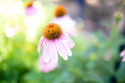 Sunflower-002