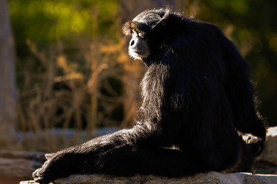 Chimpanzee Profile