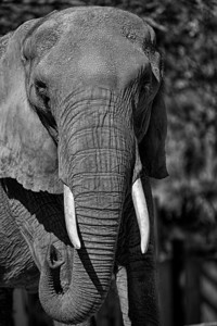 Portrait of a Pachyderm
