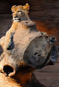 Lion Cub on Tree Stump