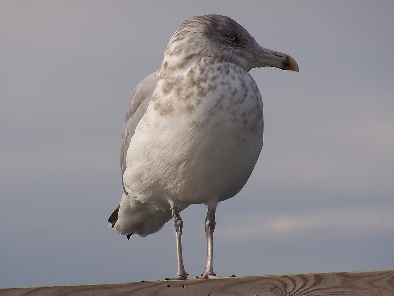 Seagull at the dock of the inlet of the bay