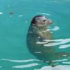 Seal hanging out at the aquarium