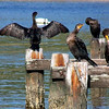 Cormorants in the Inlet of the Moriches Bay