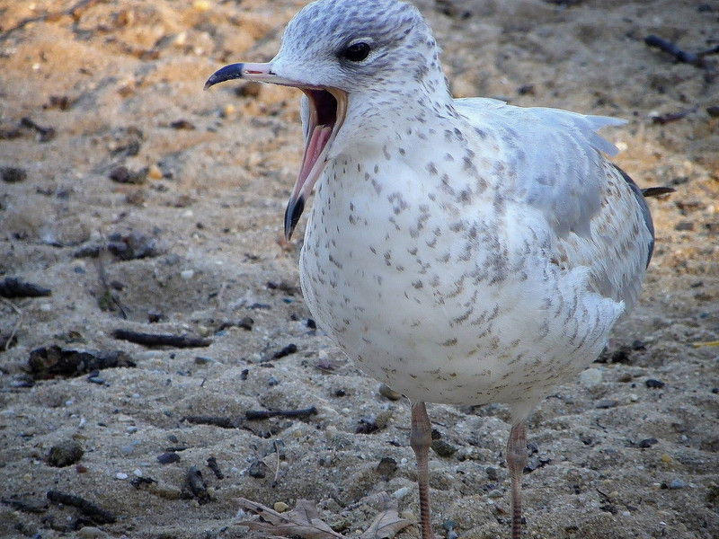 Gull at the pond
