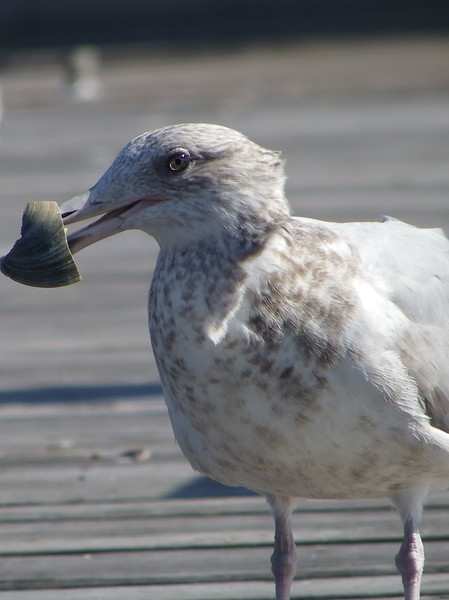 Seagull with a clam on the dock of the Bay