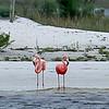 "American ""Pink"" Flamingos in Alabama"