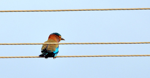 Indian Roller - State Bird of Karnataka, India