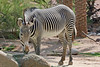 AZ-Phoenix-Zoo-Plains Zebra-2006-07-04-0003