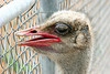 AZ-Phoenix-Zoo-Wildlife World-Red Neck Osterich-2006-07-02-0001
