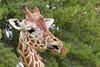 AZ-Phoenix-Zoo-Wildlife World-Reticulated Giraffe-2006-07-02-0004