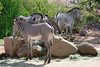 AZ-Phoenix-Zoo-Plains Zebra-2006-07-04-0004