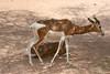 AZ-Phoenix-Zoo-Mhorr Gazelle-2006-07-04-0004