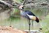 AZ-Phoenix-Zoo-East African Crowned Crane-2006-07-04-0004