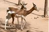 AZ-Phoenix-Zoo-Mhorr Gazelle-2006-07-04-0002