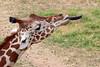 AZ-Phoenix-Zoo-Wildlife World-Reticulated Giraffe-2006-07-02-0005