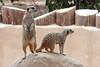 AZ-Phoenix-Zoo-Wildlife World-Slender Tailed Meerkat-2006-07-02-0002