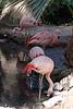 V-AZ-Phoenix-Zoo-American Flamingo-2007-05-27-0002