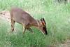AZ-Phoenix-Zoo-Wildlife World-Reeves' Muntjac Deer-2006-07-02-0001
