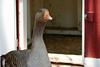 AZ-Phoenix-Zoo-Lucy-Goose-2006-07-04-0001