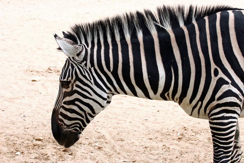 AZ-Phoenix-Zoo-Wildlife World-Plains Zebra-2006-07-02-0006