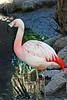 V-AZ-Phoenix-Zoo-American Flamingo-2007-05-27-0001